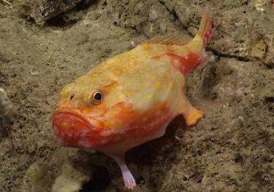 """Le maillon manquant : Des scientifiques découvrent un poisson doté de """"pattes"""""""