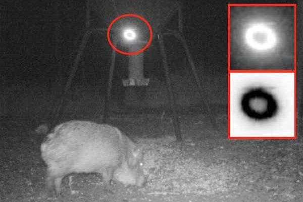 Un Ovni observé en train de survoler des cochons sauvages au Texas