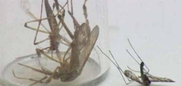 Des moustiques monstres trois fois plus gros que la normale envahissent la Caroline du Nord (Vidéos)
