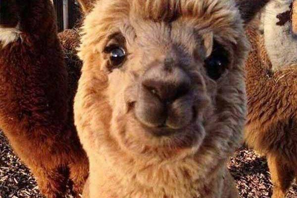 Un anticorps de lama pourrait être la clé d'un vaccin antigrippal universel