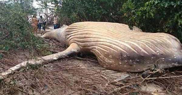La baleine à bosse trouvée au milieu de la jungle Amazonienne a été larguée là-bas par des EXTRATERRESTRES
