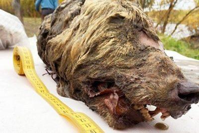 Une tête de loup vieille de 40.000 ans découverte en Sibérie