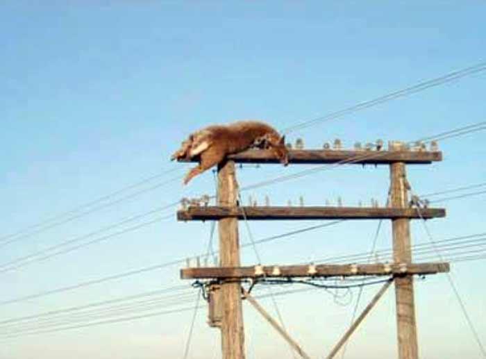 Un cerf retrouvé sur une ligne haute tension à 7 mètres de haut