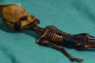 L'ADN de l'«extraterrestre humanoïde» d'Atacama enfin décrypté